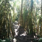 Some interesting treas along the Kokoda Trail
